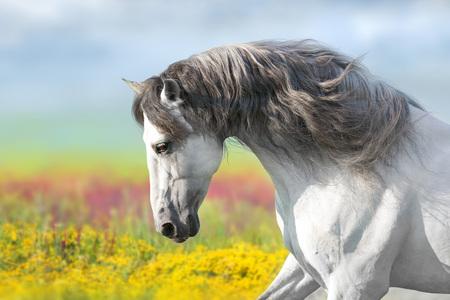 Foto de Andalusian horse with long mane run gallop close up in flowers meadow - Imagen libre de derechos