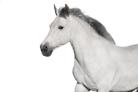 Photo for White  horse portrait on white background. High key image - Royalty Free Image