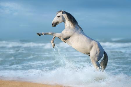 Foto de White horse rearing gallop along the beach - Imagen libre de derechos