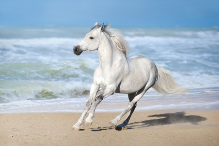Photo pour White horse run gallop along the beach - image libre de droit
