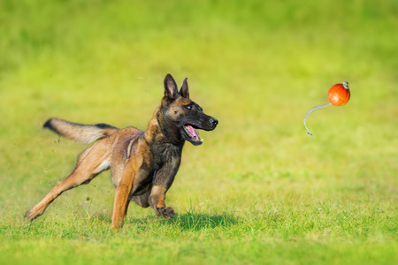 Foto de Malinois sheepdog run and play ball toy at summer field - Imagen libre de derechos