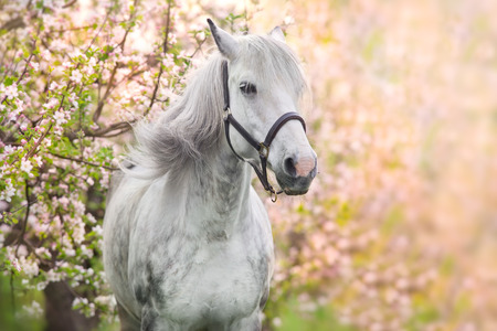Photo for White horse portrait in spring pink blossom tree - Royalty Free Image