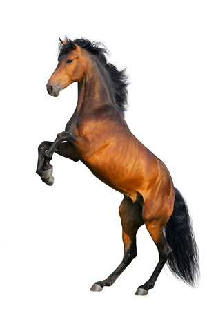 Foto per Bay horse rearing up isolated on white background - Immagine Royalty Free