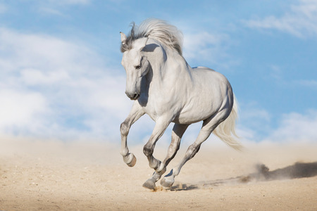 Photo pour White horserun gallop  in desert dust against beautiful sky - image libre de droit