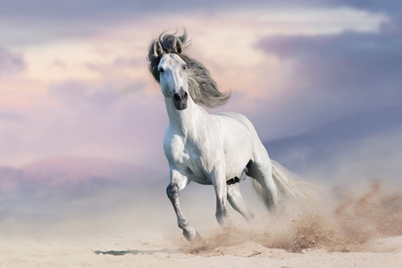 Foto de White horserun gallop  in desert dust against beautiful sky - Imagen libre de derechos