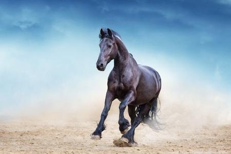 Photo pour Black frisian stallion run in desert dust against blue sky - image libre de droit