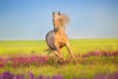 Photo pour Cremello horse with long mane free run in flowers meadow - image libre de droit