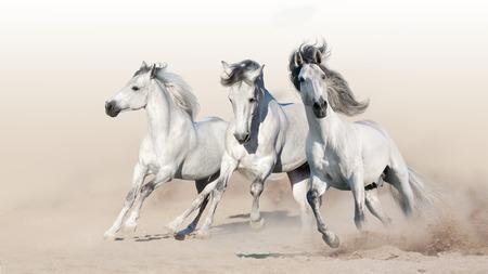 Photo pour Three white horse run gallop on desert dust - image libre de droit