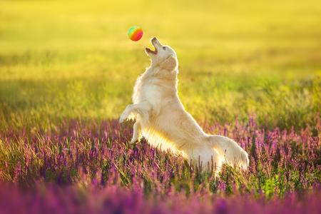 Photo pour Golden retriever play with ball  in violet salvia flowers - image libre de droit