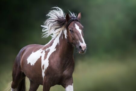 Pinto horse with long mane run gallop close up portrait