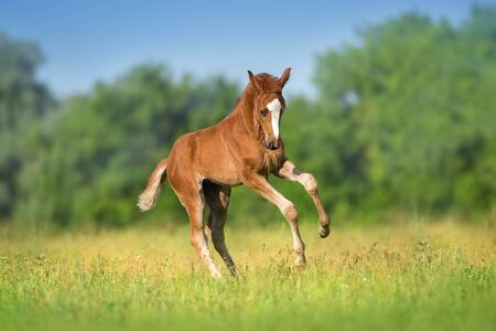 Photo pour Beautiful red foal run and fun on spring green field - image libre de droit
