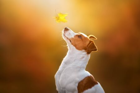 Photo pour Jack russel close up portrait with autumn leaves at sunlight - image libre de droit