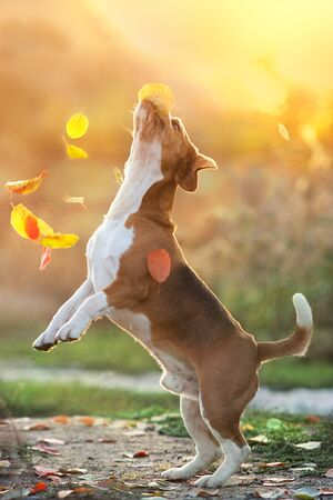 Photo for Beagle play with leaves in sunset light - Royalty Free Image