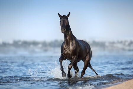 Black horse run in blue river