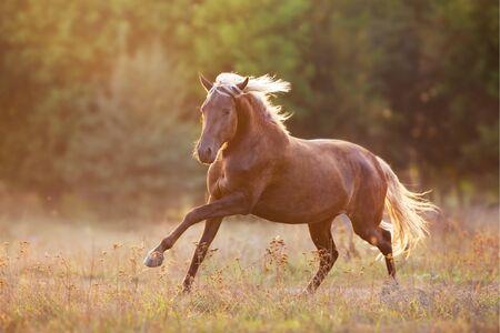 Photo pour Red horse run in sunset light - image libre de droit