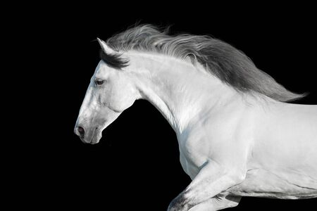 Photo pour White lusitano stallion with long mane portrait  in motion on black background - image libre de droit