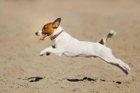 Foto de Jack russell terrier dog running on a beach of sea - Imagen libre de derechos