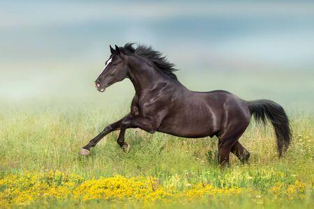 Photo pour Black horse run gsllop on flowers meadow - image libre de droit