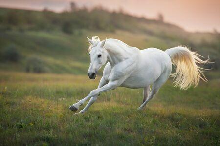 Photo pour White horse run gallop against sunset sky - image libre de droit