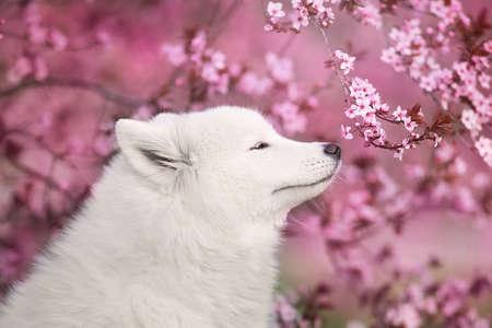 Photo for Beagle dog portrait in spring sakura blossom tree - Royalty Free Image