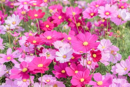 beautiful pink cosmos flower in garden on top view