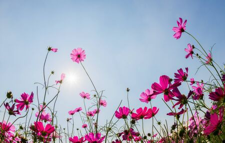Photo pour Beautiful pink cosmos with sun light on blue sky background, Summer flower background concept - image libre de droit