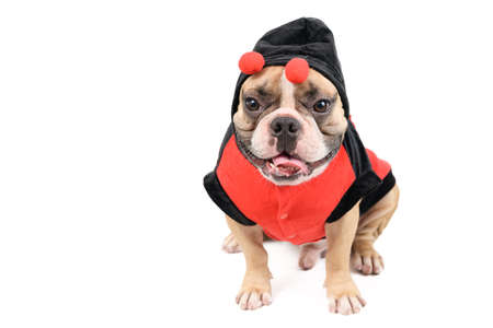 Photo pour Adorable French Bulldog wearing a cute and funny Ladybug costume isolated on white background, Pet and animal concept - image libre de droit