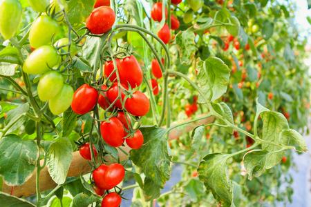 Foto de Fresh ripe red tomatoes plant growth in organic greenhouse garden ready to harvest - Imagen libre de derechos