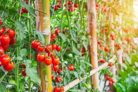 Foto de Fresh ripe red tomatoes plant growth in organic greenhouse garden ready to harvest - Imagen libre de derechos