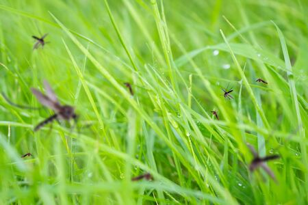 Foto per Many mosquitoes in green grass field - Immagine Royalty Free