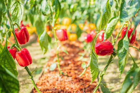 Photo for Red bell pepper plant growing in organic garden - Royalty Free Image