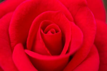 Photo for Beautiful red roses flower close up background - Royalty Free Image