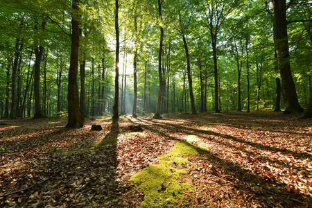 Beautiful moring in beech forest