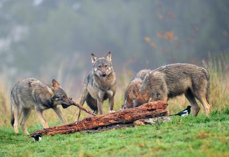 Foto für Gray wolf (Canis lupus) - Lizenzfreies Bild