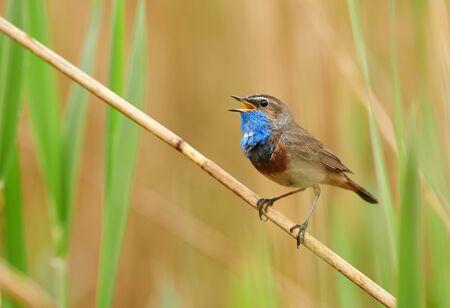 Foto de Bluethroat bird sitting on the reed (Luscinia svecica) - Imagen libre de derechos