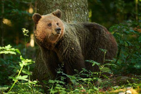 Photo pour Wild brown bear (Ursus arctos) close up - image libre de droit