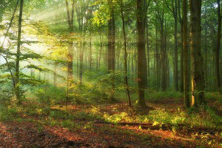 Photo pour Autumn morning in old forest - image libre de droit