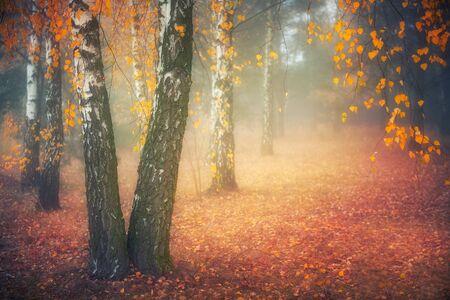 Misty morning in autumn birch forest