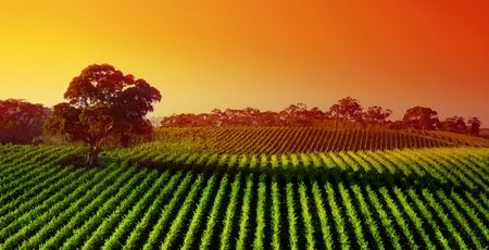 Beautiful Vineyard Landscape with large gum tree