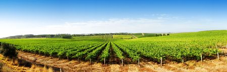 Vineyard Panorama in the Adelaide Hills
