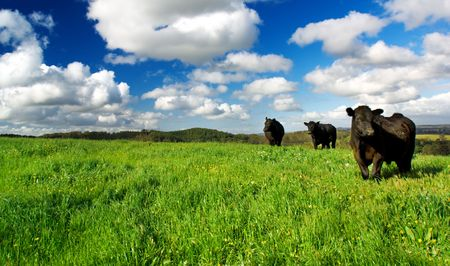 Photo for Cows in a green meadow - Royalty Free Image