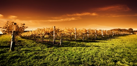 Autumn Vineyard at sunset