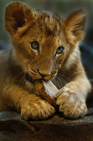 Four Month old Lioness playing with small piece of wood