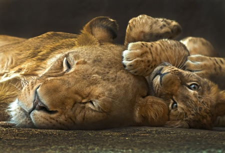 Four month old lion cub lying next to her mother looking into the camera