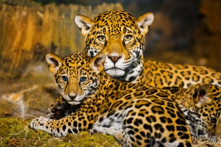 Baby Jaguar And Mother