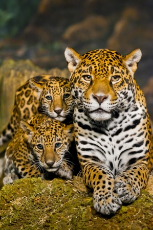 Jaguar Cubs And Mother