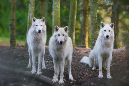 Foto für Three beautiful white wolfs looking directly into the camera - Lizenzfreies Bild