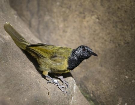 Oriole Warbler Bird close-up shot.