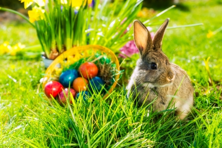 Living Easter bunny with eggs in a basket on a meadow in spring