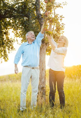Photo for Senior couple of woman and man eating apples fresh from the tree, they are stretching themselves to reach the fruit - Royalty Free Image